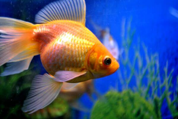 Gold Fish Tank photo