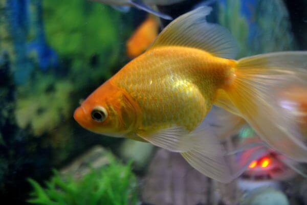 Gold Fish photo