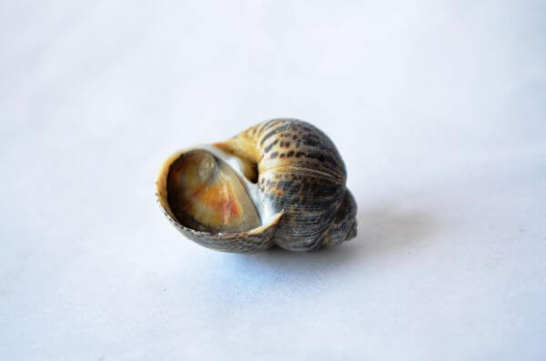 Sea Shell Snail photo