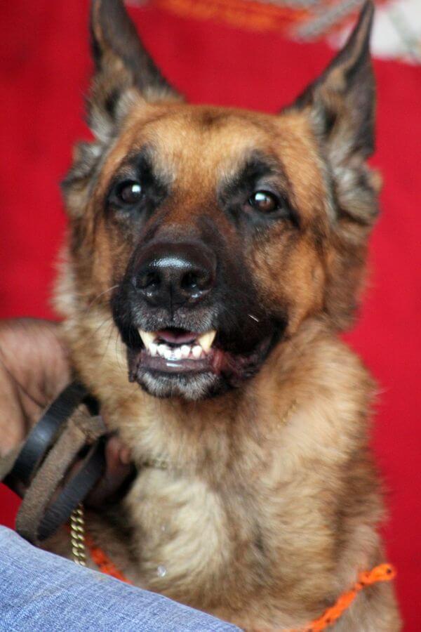 German Shepherd Dog 2 photo