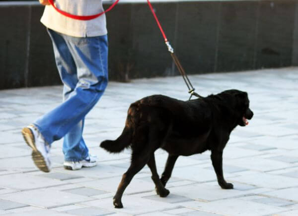 Labrador Walking Black photo