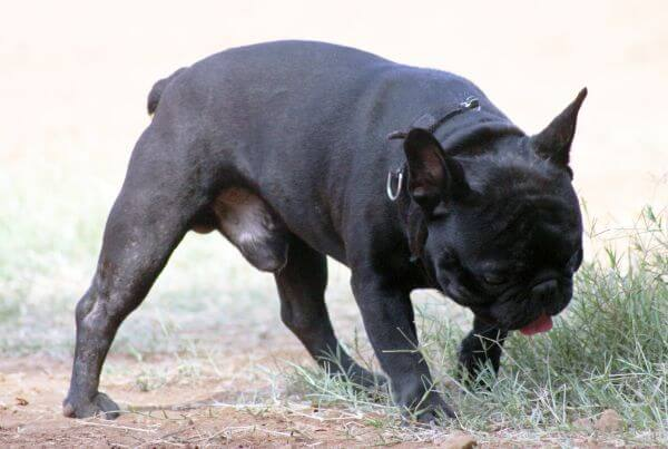 Pug Black photo