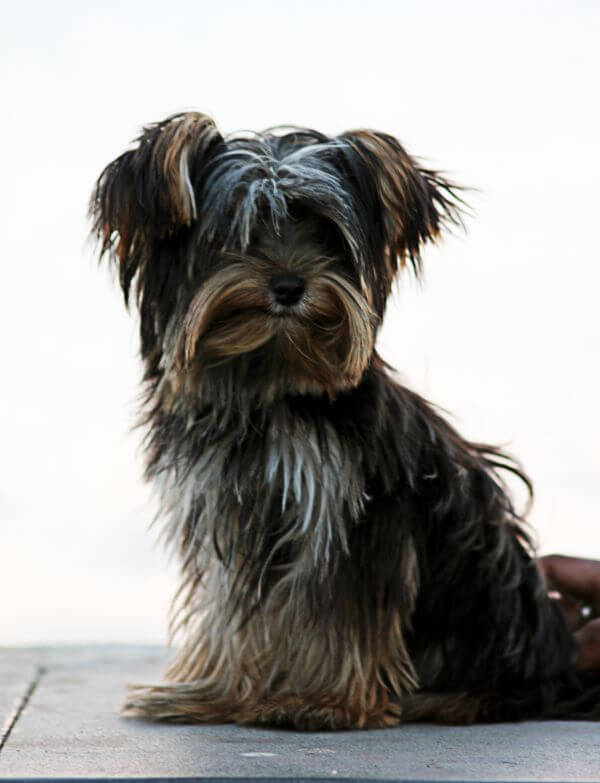 Yorkshire Terrier Sitting photo