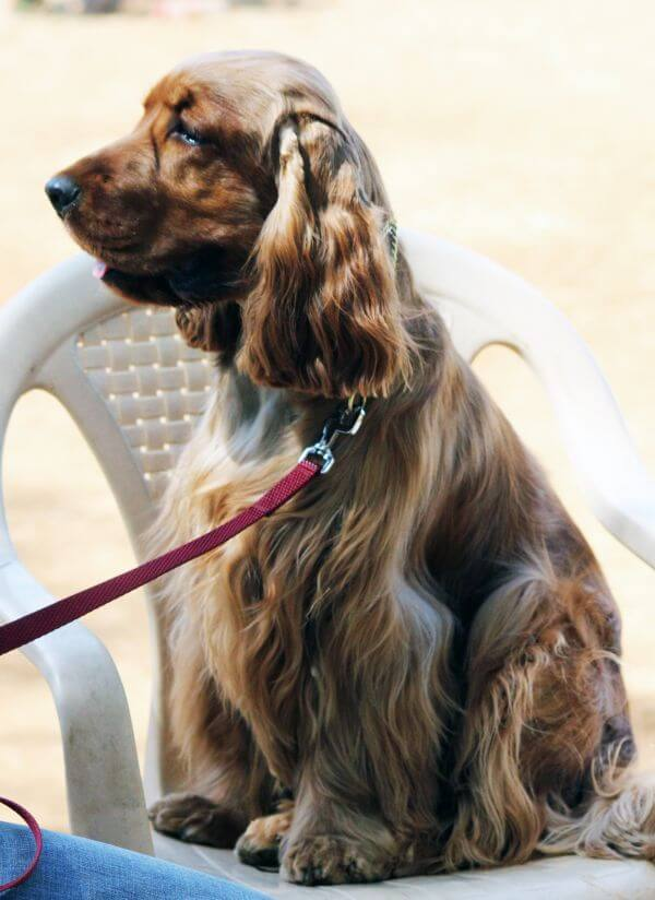 American Cocker Spaniel On Chair photo