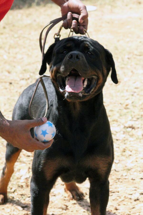 Boxer Dog Ball photo