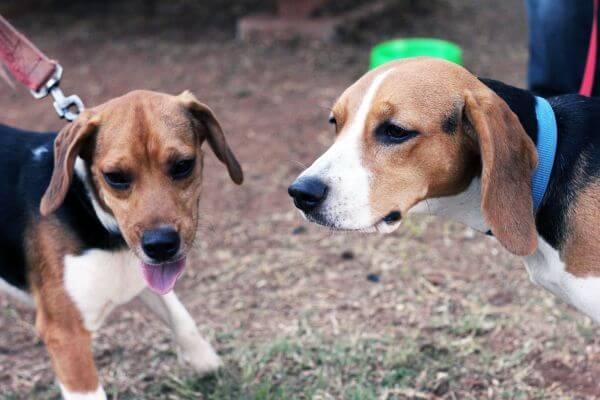 Couple Of Beagle Dogs photo
