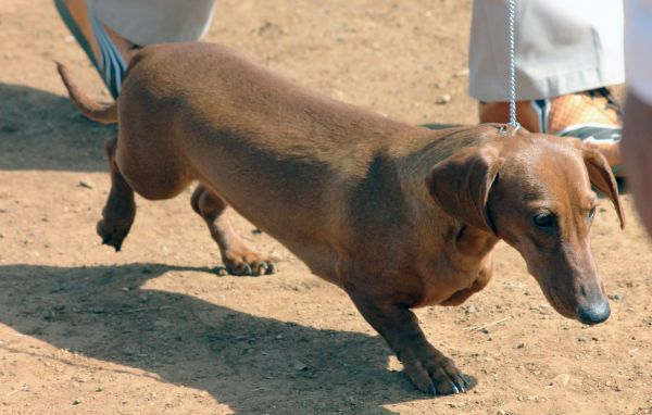 Dachshund Breed Dog photo