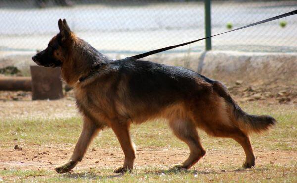 German Shepherd Walking photo