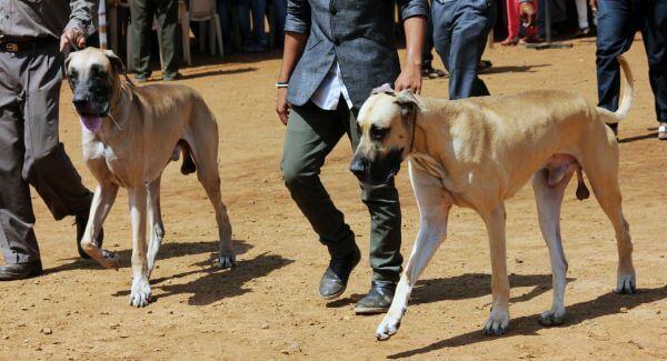 Great Dane Dogs photo