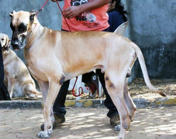 Great Dane Tall Dog photo