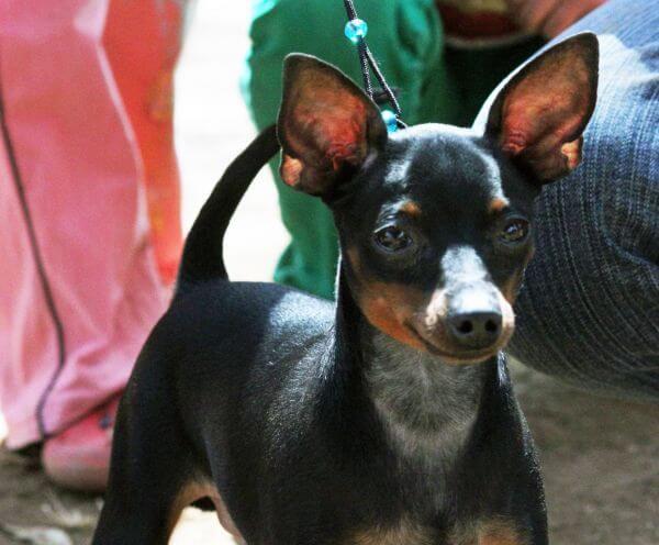 Min Pin Dog photo