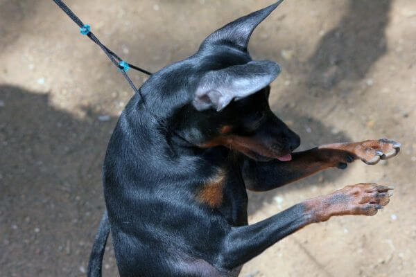 Min Pin Standing On Two Legs photo