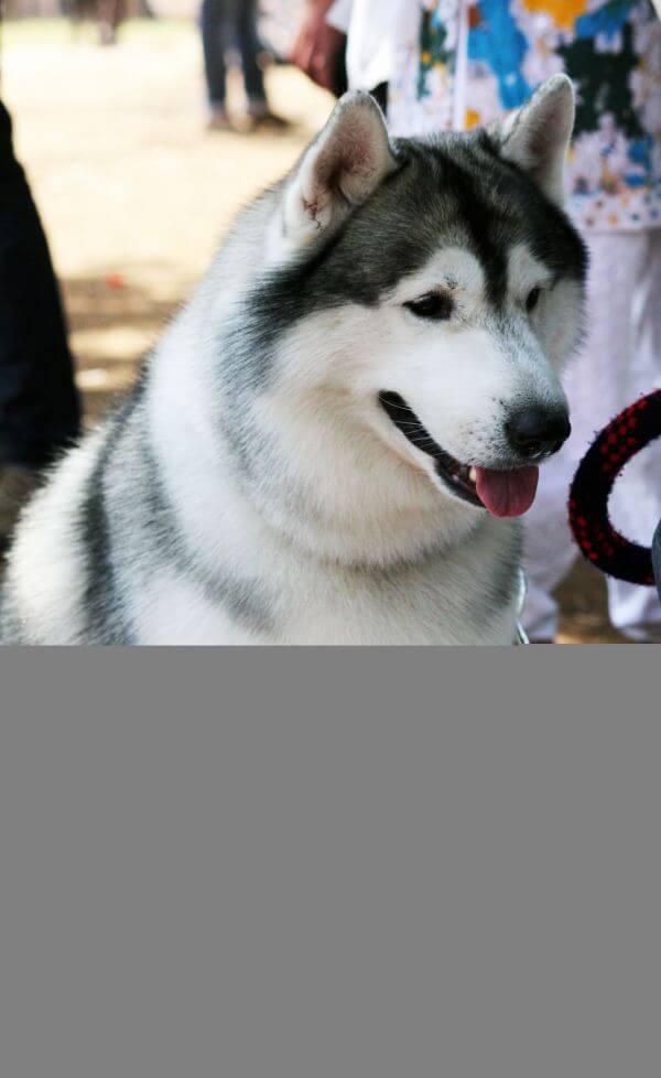 Siberian Husky Beautiful Dog photo