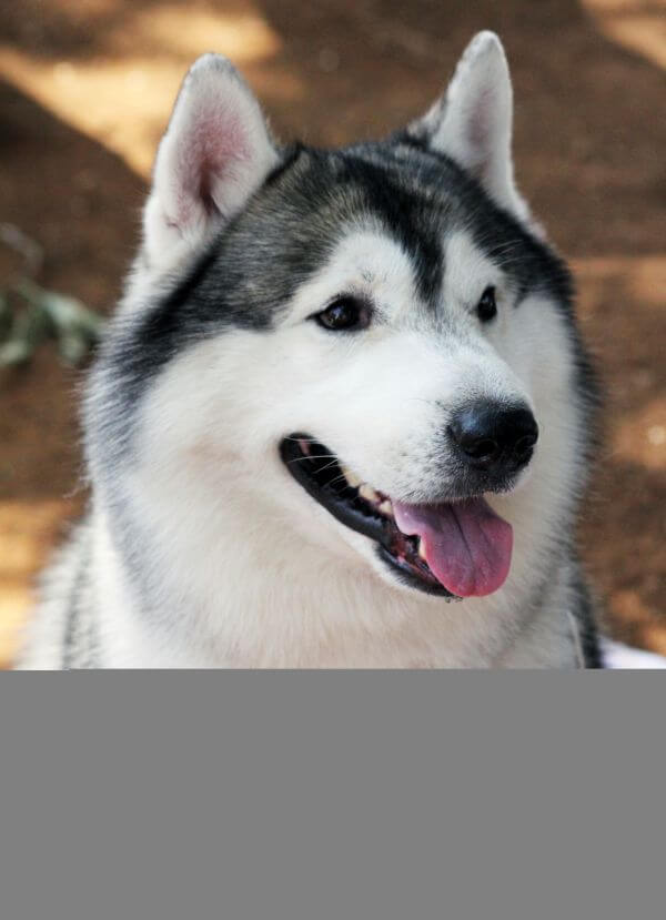 Siberian Husky Beautiful photo