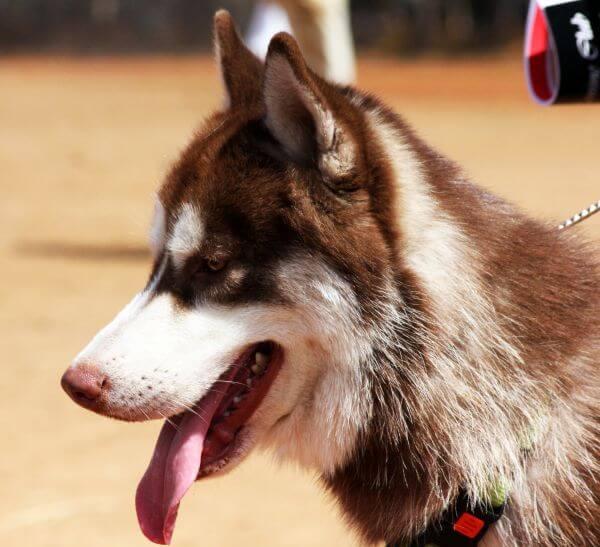 Siberian Husky Majestic Dog photo