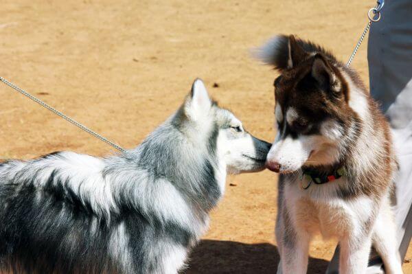 Siberian Husky Two Of Them photo