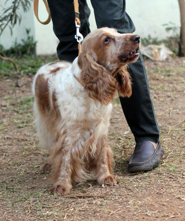 Spaniel Dog Long Ears photo