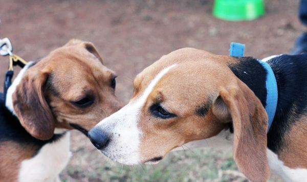 Two Beagles Sitting photo