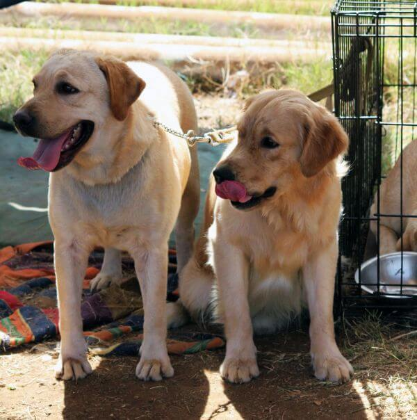 Two Cute Labradors photo