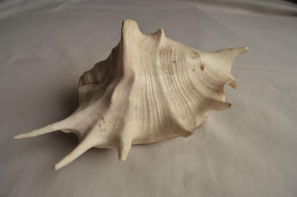 Conch Shell photo
