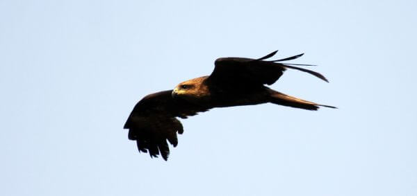Eagle Flying photo