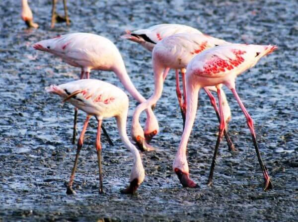 Flamingo Birds 2 photo
