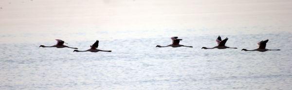 Flamingoes Flying photo