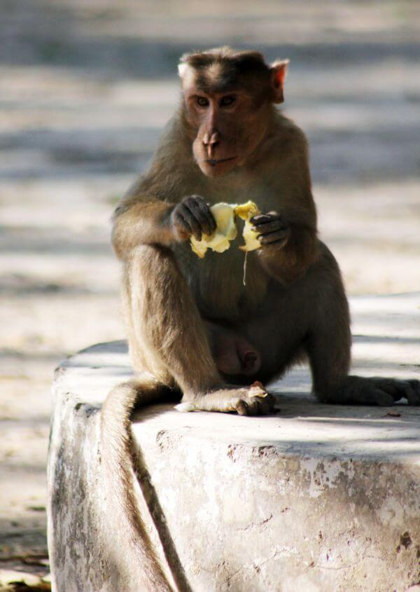 Monkey Eating photo