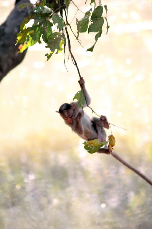 Monkey Hanging Branch photo