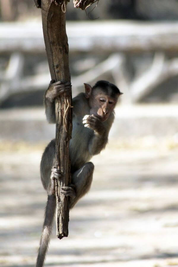Monkey Hanging From Branch photo