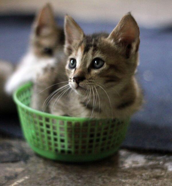 Two Kittens In Basket photo