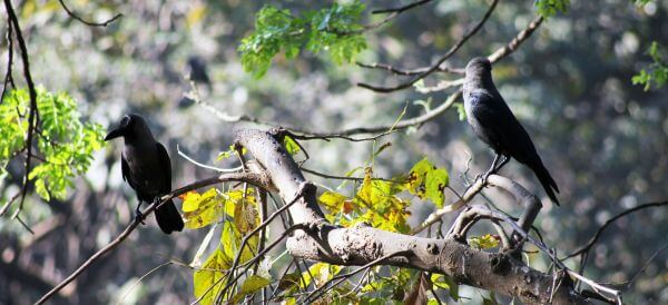 Crows On Branches photo