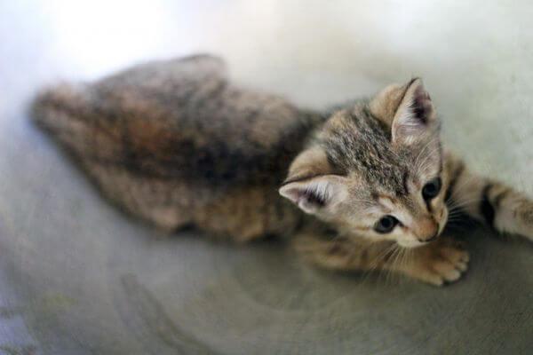 Cute Cuddly Kitten Cat photo
