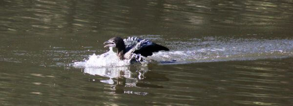 Duck Swimming Fast photo