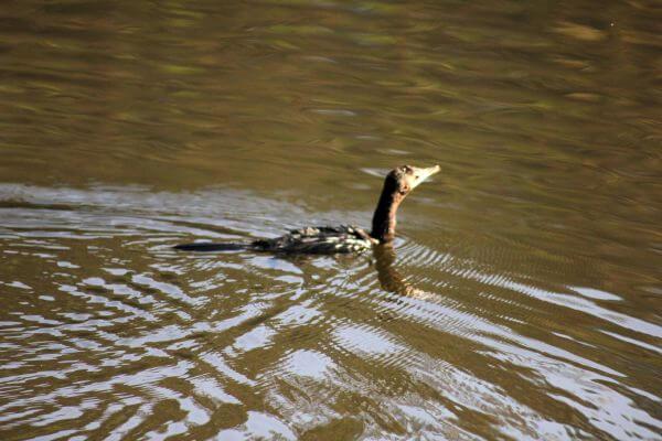 Duck Swimming Lake photo