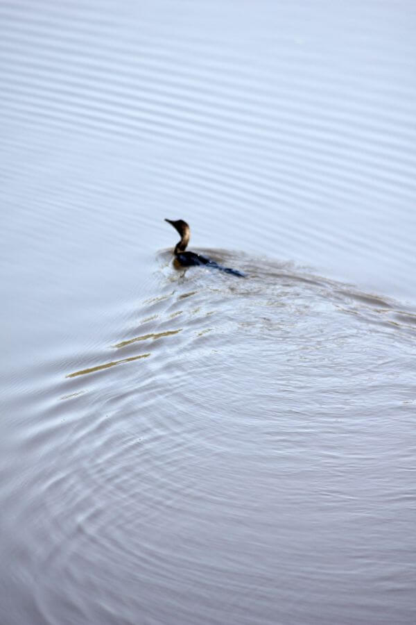 Duck Swimming Waves photo