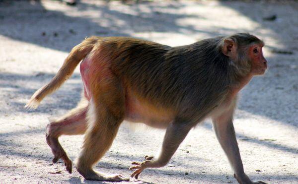 Fat Monkey Walking photo