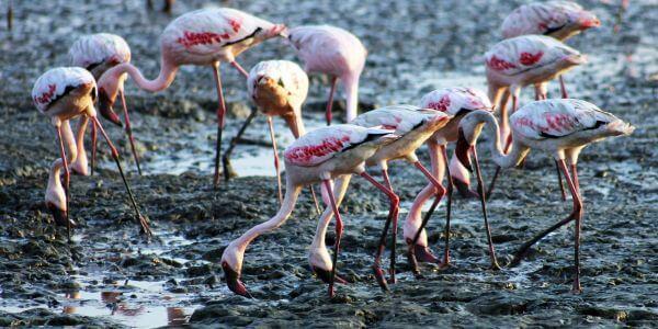Flamingos Sewri India photo