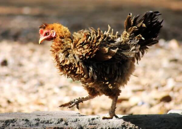 Hen Cock photo