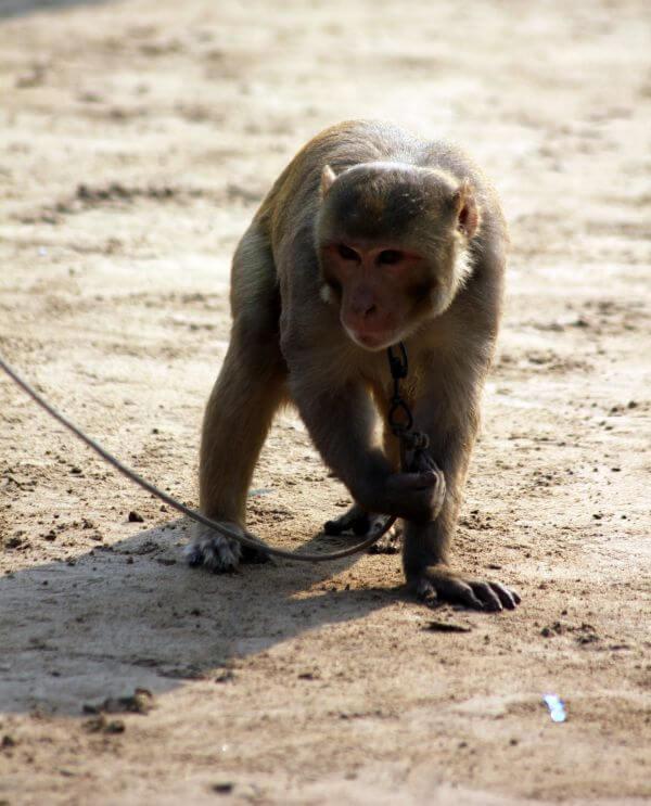 Monkey Animal Rights photo