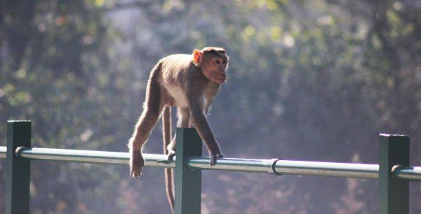 Monkey On Pole photo