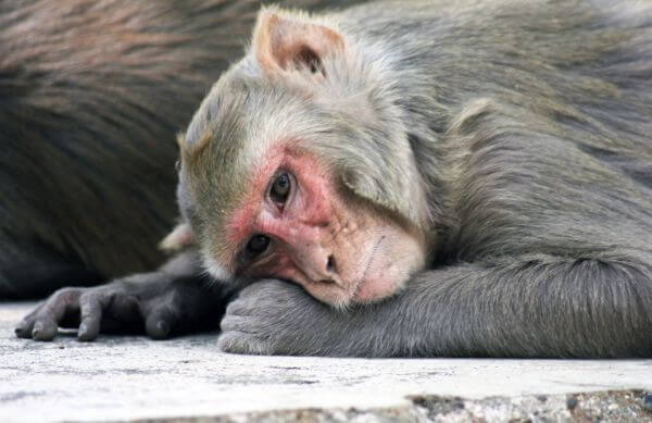 Monkey Resting photo