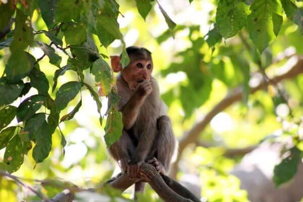 Monkey Thinking Branch 2 photo