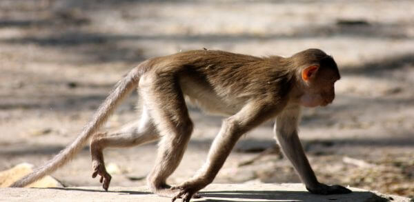 Monkey Walking 2 photo