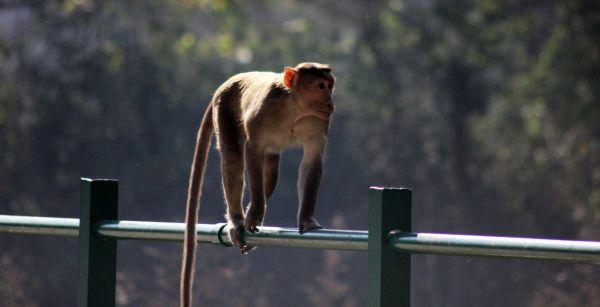 Monkey Walking On Pole photo