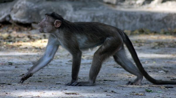 Monkey Walking photo