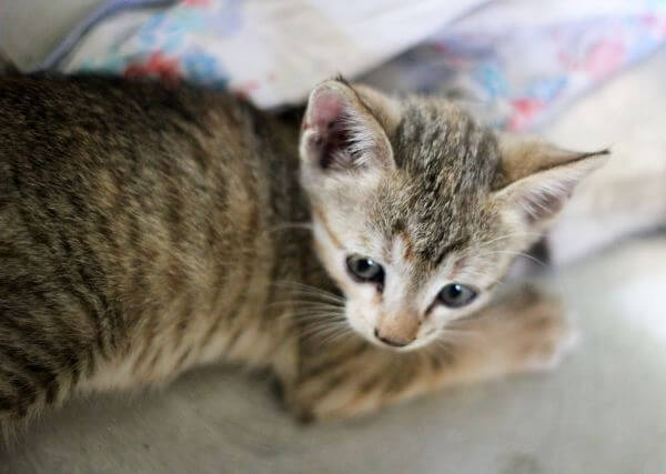 Striped Baby Cat Kitten photo