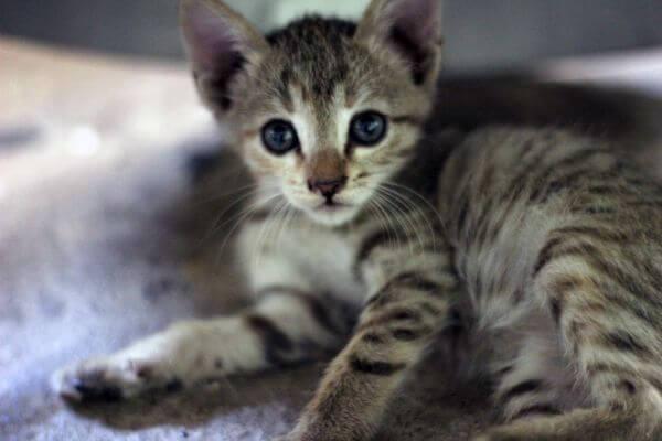 Striped Kitten photo