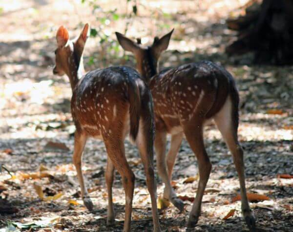 Two Deers Couple photo
