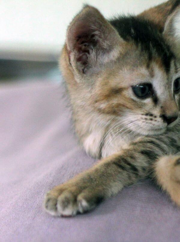 Kitten Face Closeup photo